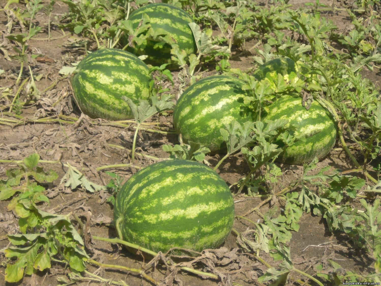 Про арбузы выращивание 48